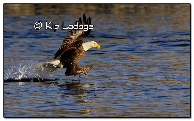 Adult Bald Eagle Catching Fish - Image 478343 (© Kip Ladage)