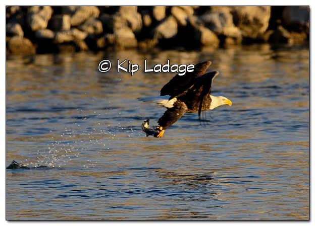 Adult Bald Eagle Catching Fish - Image 478345 (© Kip Ladage)
