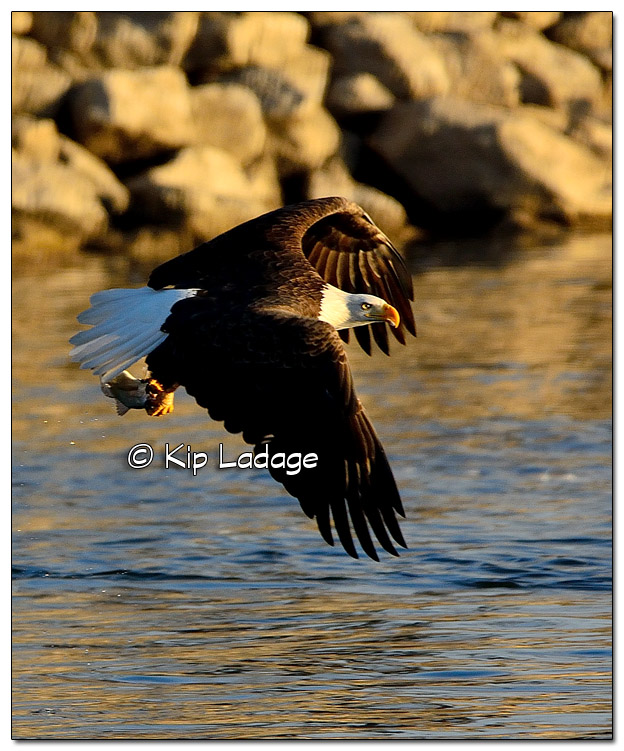 Adult Bald Eagle Catching Fish - Image 478346 (© Kip Ladage)