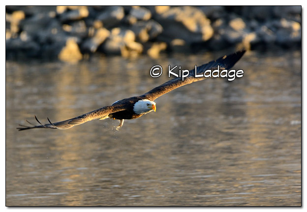 Adult Bald Eagle Catching Fish - Image 478349 (© Kip Ladage)