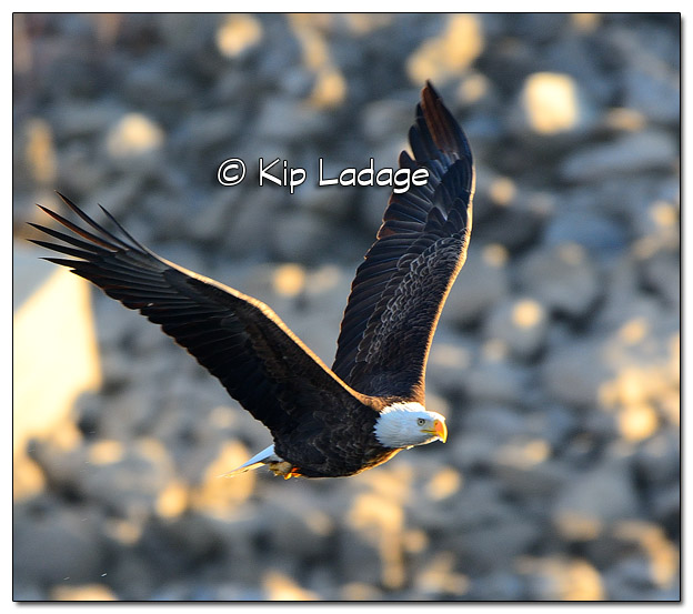 Adult Bald Eagle Catching Fish - Image 478351 (© Kip Ladage)