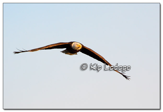 Adult Bald Eagle in Flight - Image 477696 (© Kip Ladage)