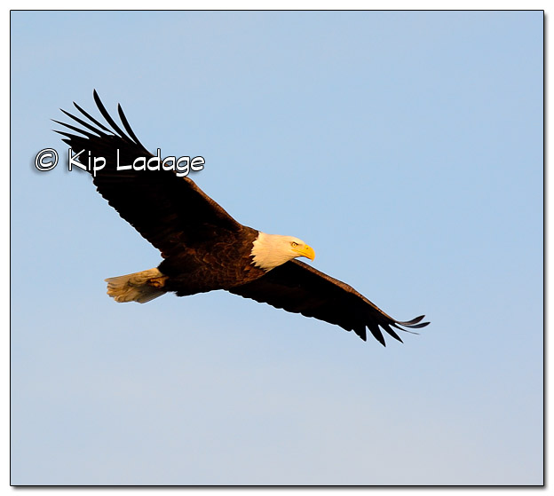 Adult Bald Eagle in Flight - Image 477699 (© Kip Ladage)