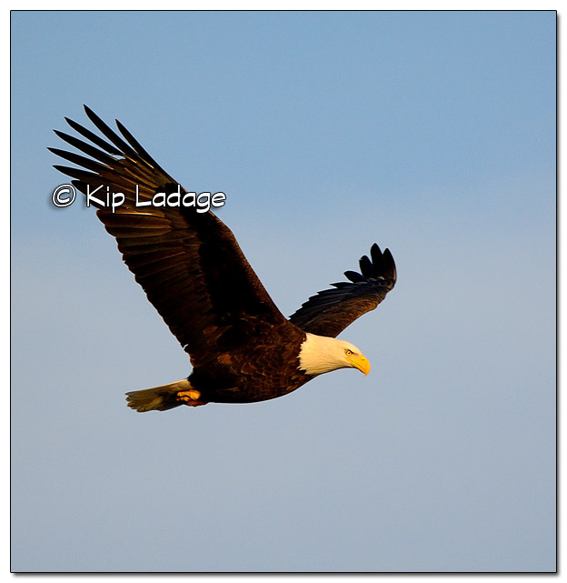 Adult Bald Eagle in Flight - Image 477732 (© Kip Ladage)