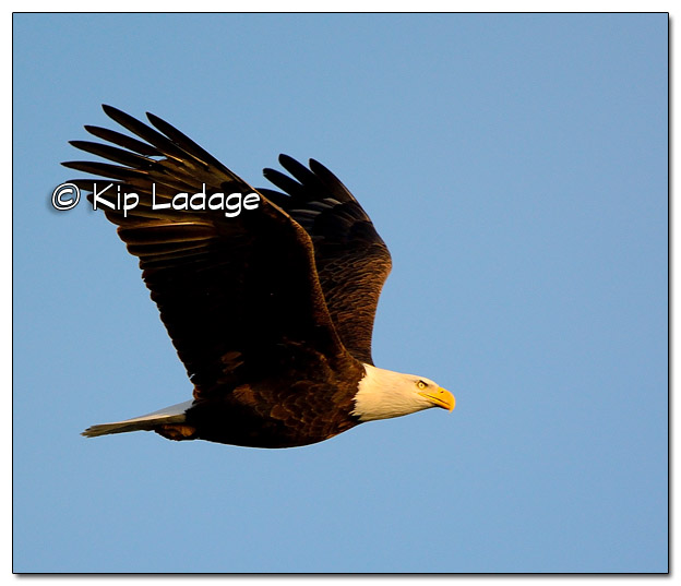 Adult Bald Eagle in Flight - Image 477737 (© Kip Ladage)
