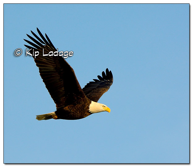 Adult Bald Eagle in Flight - Image 477784 (© Kip Ladage)