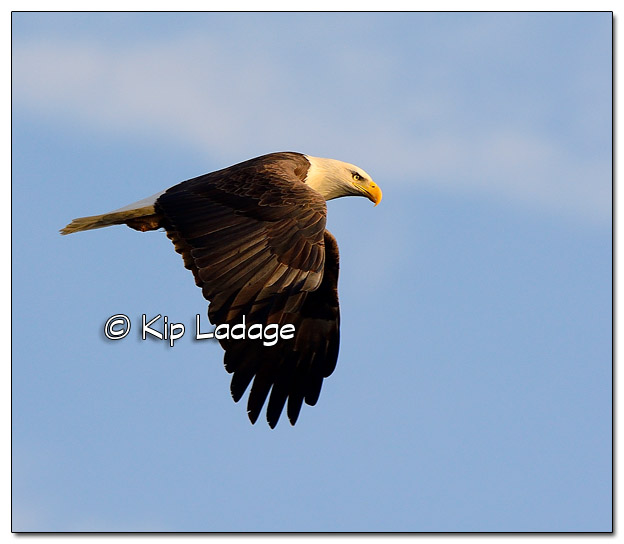 Adult Bald Eagle in Flight - Image 477786 (© Kip Ladage)