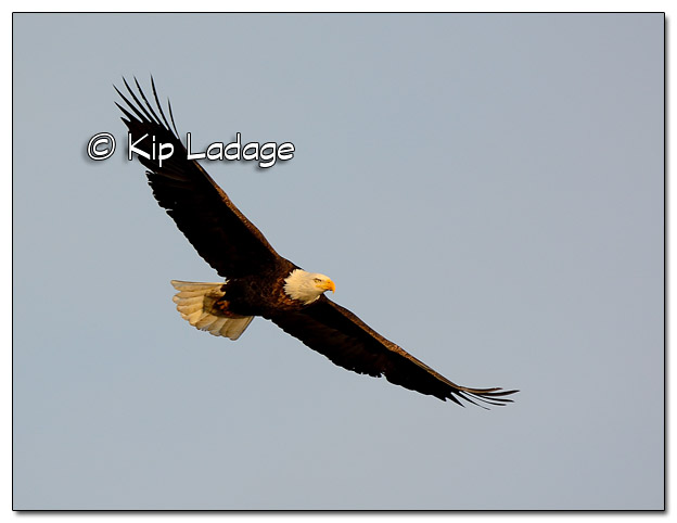 Adult Bald Eagle in Flight - Image 477792 (© Kip Ladage)