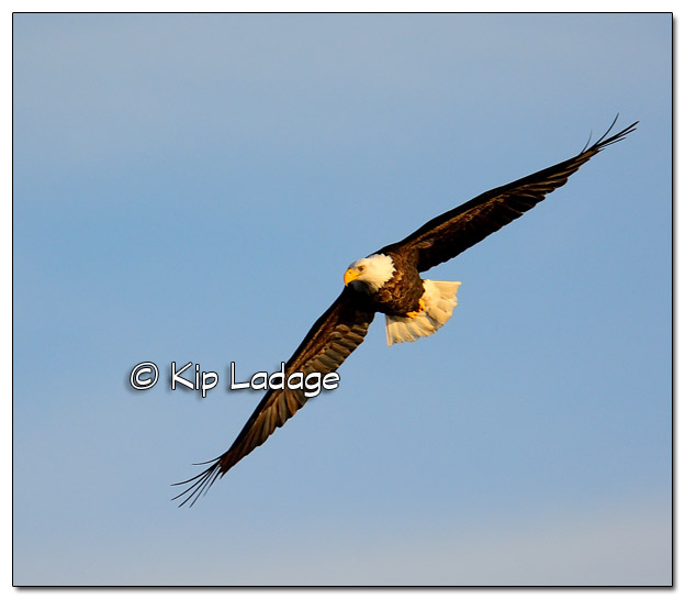 Adult Bald Eagle in Flight - Image 477806 (© Kip Ladage)