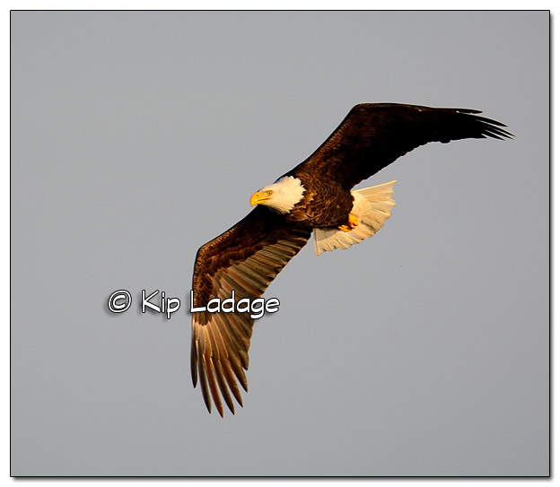 Adult Bald Eagle in Flight - Image 477817 (© Kip Ladage)