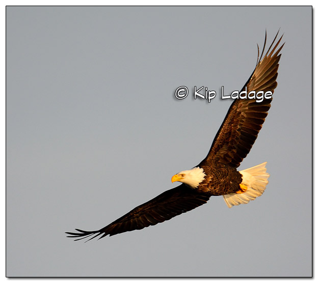 Adult Bald Eagle in Flight - Image 477818 (© Kip Ladage)