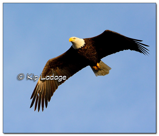 Adult Bald Eagle in Flight - Image 477831 (© Kip Ladage)