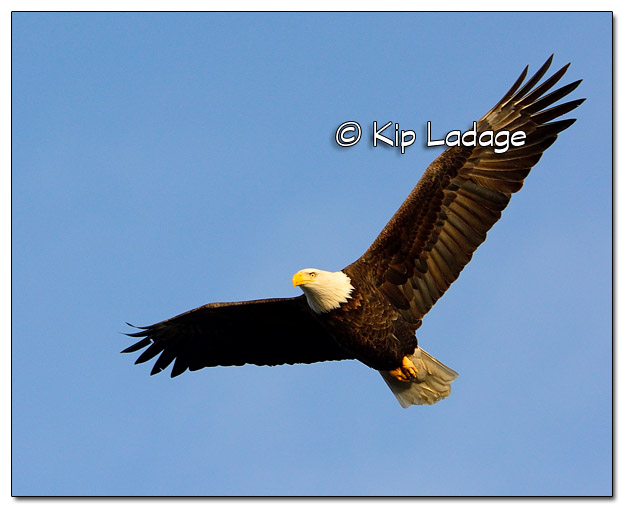Adult Bald Eagle in Flight - Image 477832 (© Kip Ladage)