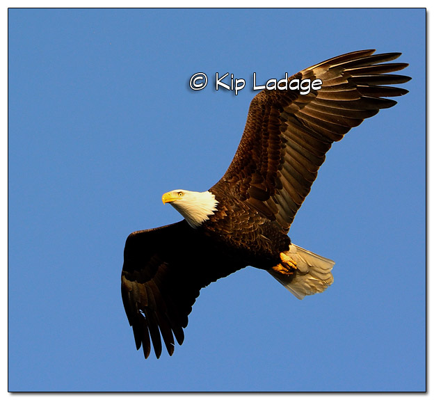 Adult Bald Eagle in Flight - Image 477834 (© Kip Ladage)