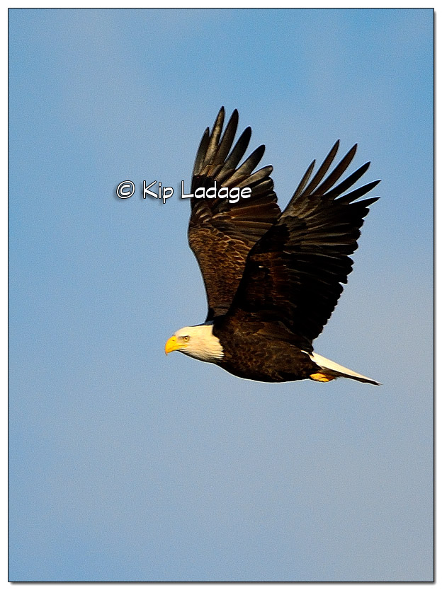 Adult Bald Eagle in Flight - Image 477977 (© Kip Ladage)