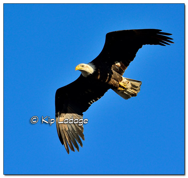 Adult Bald Eagle in Flight - Image 477990 (© Kip Ladage)