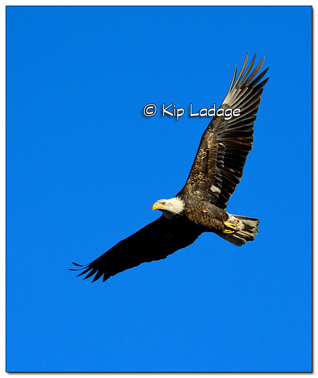 Adult Bald Eagle in Flight - Image 477991 (© Kip Ladage)