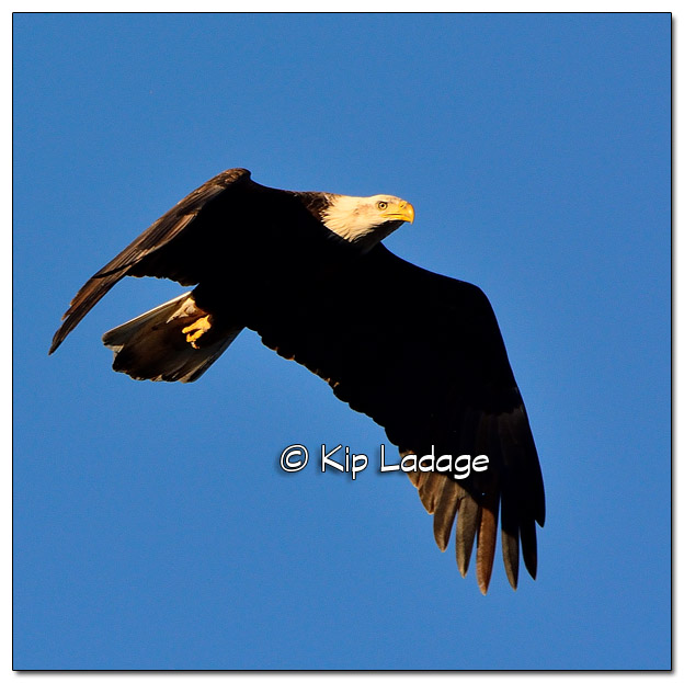 Adult Bald Eagle in Flight - Image 478001 (© Kip Ladage)