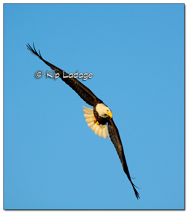 Adult Bald Eagle in Flight - Image 478002 (© Kip Ladage)