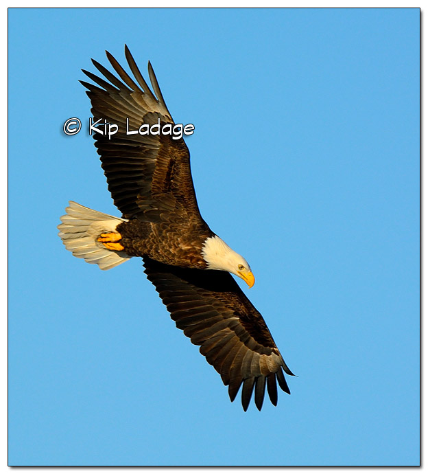 Adult Bald Eagle in Flight - Image 478008 (© Kip Ladage)