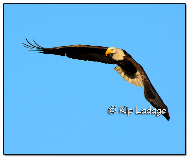 Adult Bald Eagle in Flight - Image 478013 (© Kip Ladage)