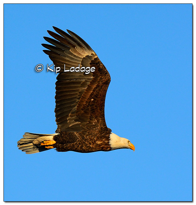 Adult Bald Eagle in Flight - Image 478014 (© Kip Ladage)