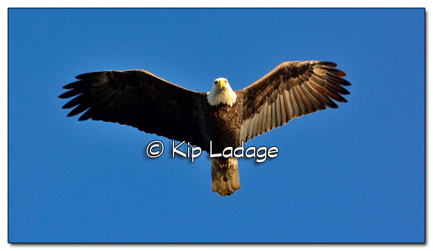 Adult Bald Eagle in Flight - Image 478386 (© Kip Ladage)
