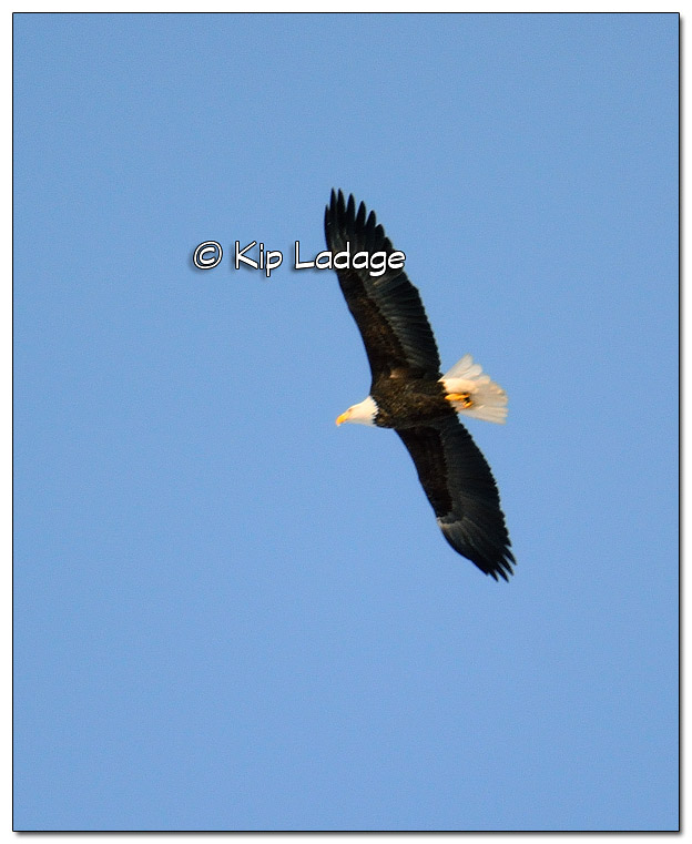 Adult Bald Eagle in Flight - Image 479388 (© Kip Ladage)