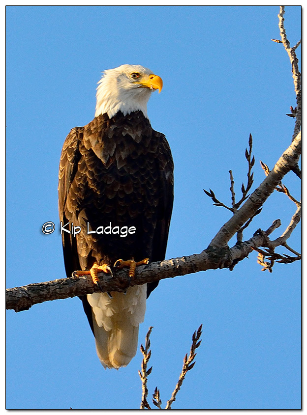Adult Bald Eagle in Tree - Image 478394 (© Kip Ladage)