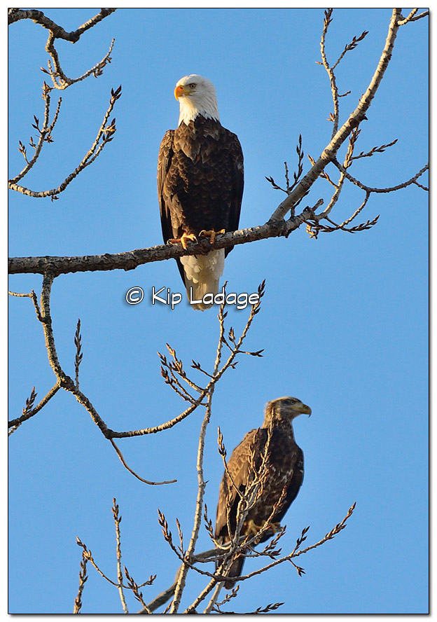 Adult Bald Eagle in Tree with Juvenile Bald Eagle - Image 478396 (© Kip Ladage)
