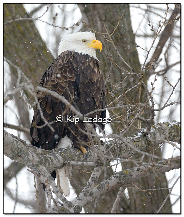 Adult Bald Eagle in Tree in Snow - Image 479565 (© Kip Ladage)