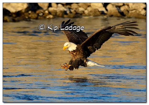 Adult Bald Eagle with Fish - Image 478282 (© Kip Ladage)