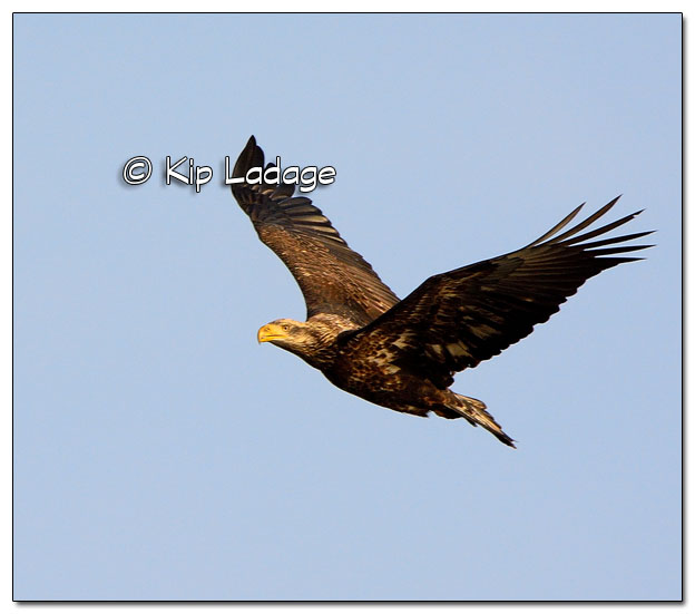 Juvenile Bald Eagle in Flight - Image 477930 (© Kip Ladage)