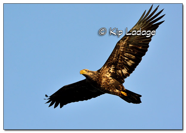 Juvenile Bald Eagle in Flight - Image 477938 (© Kip Ladage)