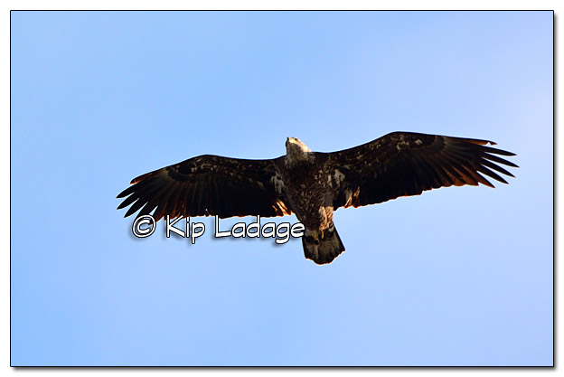 Juvenile Bald Eagle in Flight - Image 479029 (© Kip Ladage)