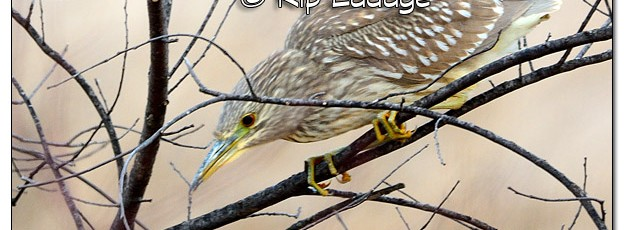 Juvenile Black-crowned Night Heron - Image 478864 (© Kip Ladage)