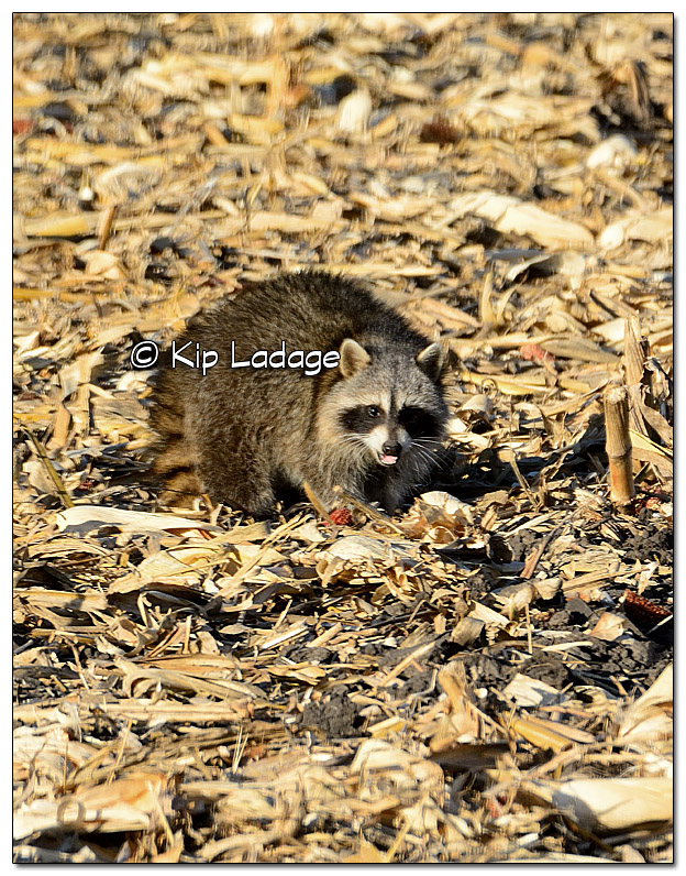 Raccoon in Corn Stubble - Image 478797 (© Kip Ladage)