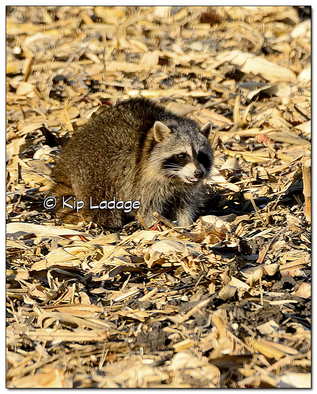 Raccoon in Corn Stubble - Image 478825 (© Kip Ladage)