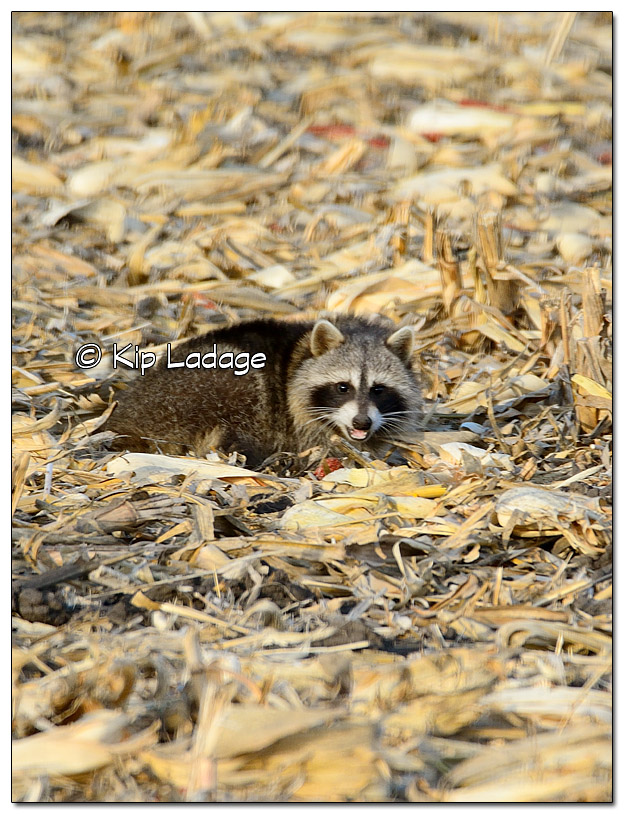 Raccoon in Corn Stubble - Image 478854 (© Kip Ladage)