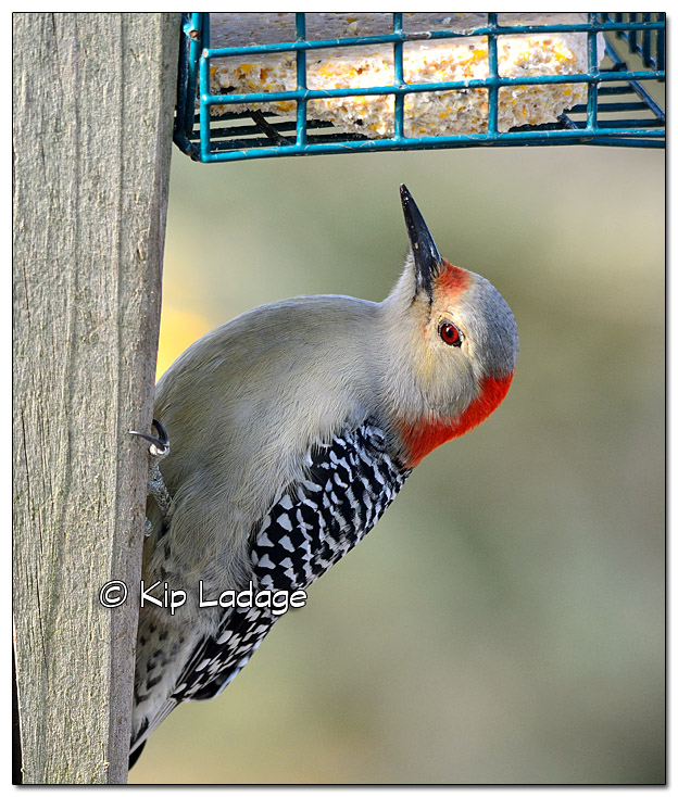 Red-bellied Woodpecker - Image 479004 (© Kip Ladage)