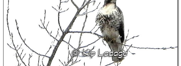 Red-tailed Hawk in Fog - Image 479111 (© Kip Ladage)
