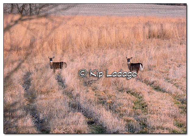 Whitetail Deer in Field - Image 478769 (© Kip Ladage)
