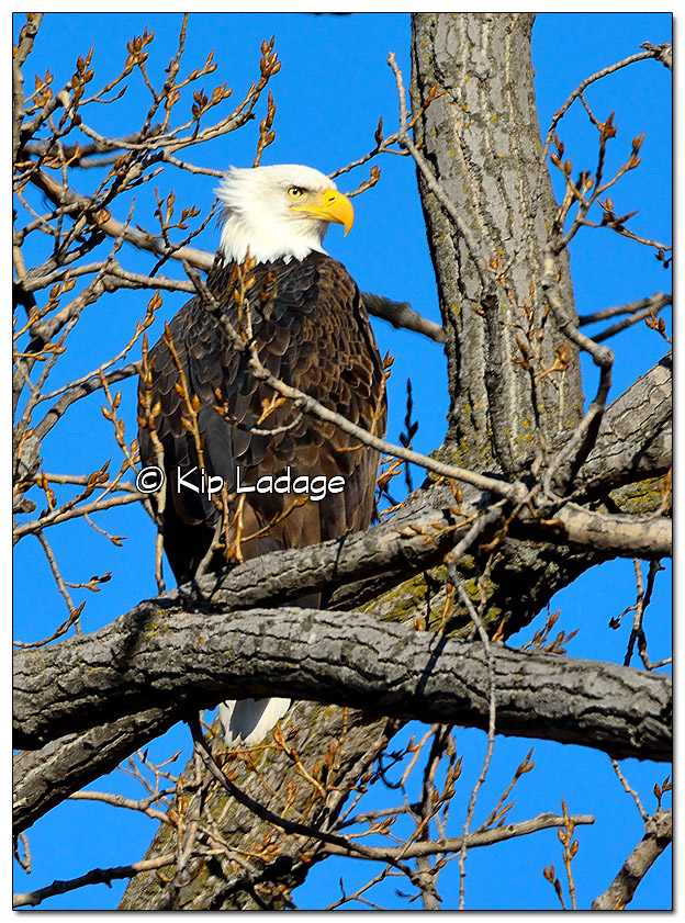 Adult Bald Eagle in Tree - Image 483754 (© Kip Ladage)