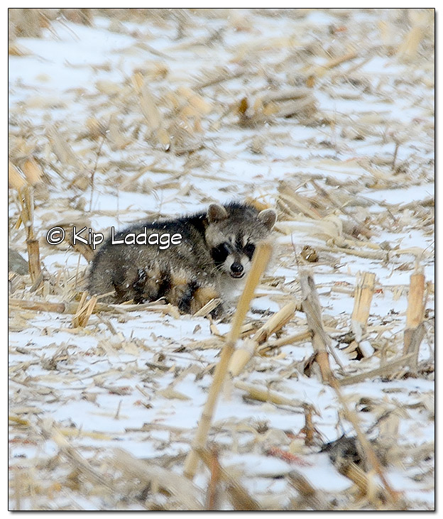 Raccoon in Snow - Image 481233 (© Kip Ladage)