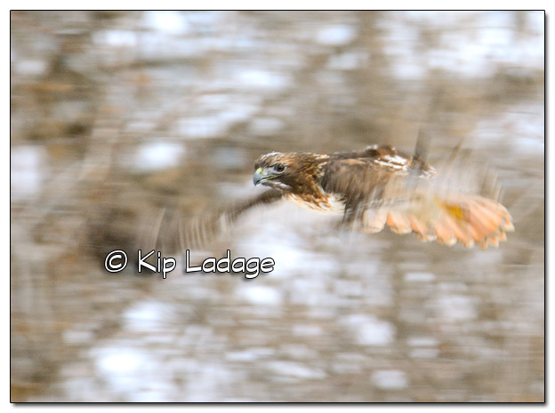 Red-tailed Hawk in Flight - Image 481363 (© Kip Ladage)