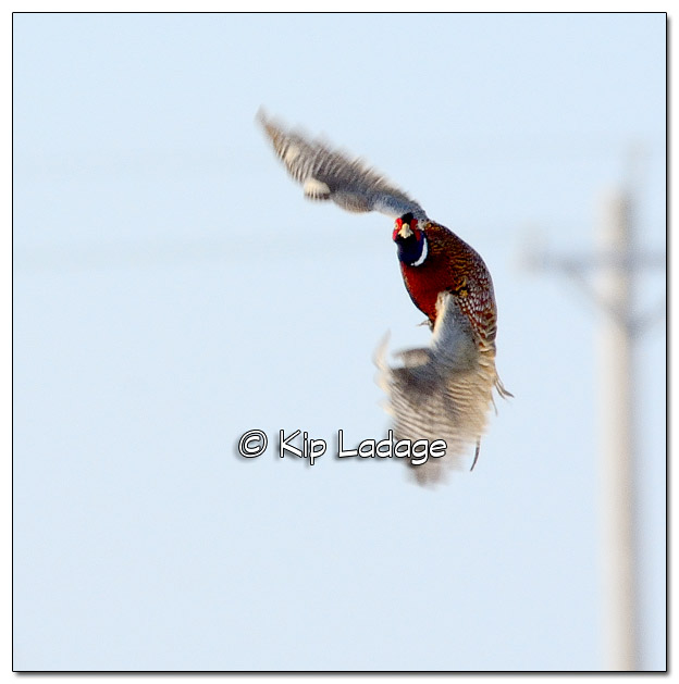Ring-necked Pheasant (Rooster) in Flight - Image 480578 © Kip Ladage