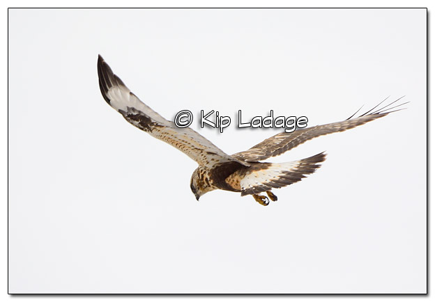 Rough-legged Hawk Hunting - Image 491105 - (© Kip Ladage)