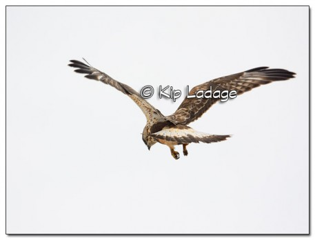 Rough-legged Hawk Hunting - Image 491119 - (© Kip Ladage)