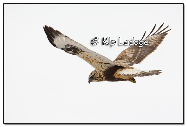 Rough-legged Hawk Hunting - Image 491160 - (© Kip Ladage)