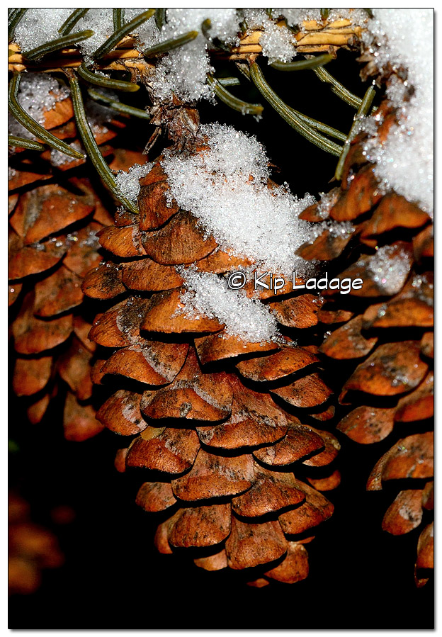 Snow on Pine Cones - Image 481446 (© Kip Ladage)